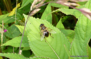 Hoverfly ID