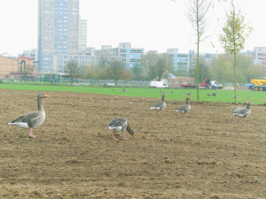 Geese on Broadwater Farm