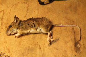 Rodent with long tail