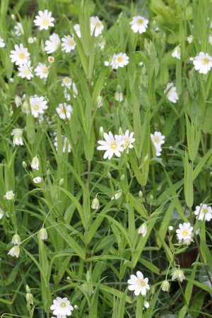 Lordship plants - Greater Stitchwort