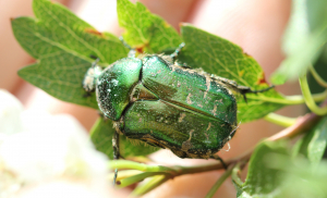 Lordship beetles - Rose Chafer