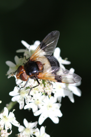 Lordship hoverflies - Pellucid Hoverfly