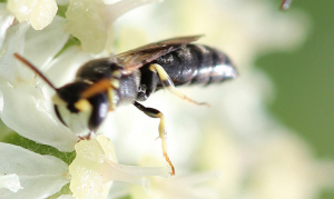Common Yellow-faced Bee