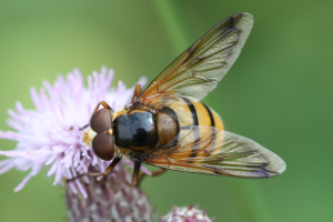 wasp-mimic fly Volucella inanis