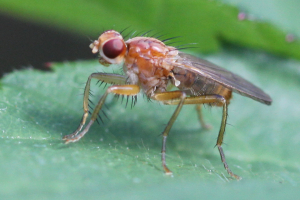 Spiny-handed Dung Fly