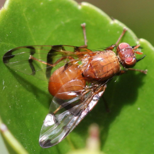 Tephritidae - Picture-wing Flies