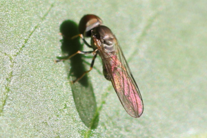 Big-headed fly