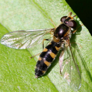 Meligramma trianguliferum