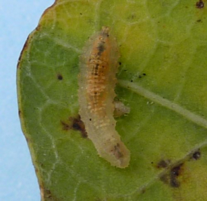 Oak leaf larva
