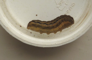 Noctuid caterpillar