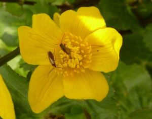 Micro-moths on Marsh Marigold