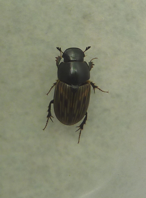 Large Aphodius species