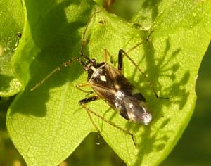 Oak tree mirid bug