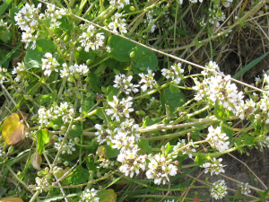 Common Scurvygrass