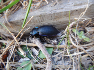 Violet Ground Beetle