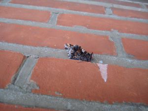 Red Admiral - newly emerged