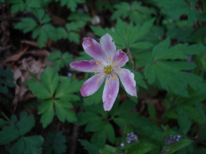 Pink Wood Anemone