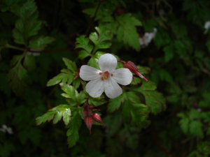 Herb Robert - Unusual White Form