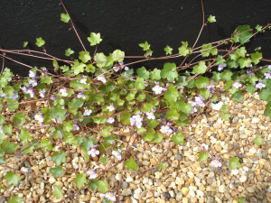 Ivy-leaved Toadflax,