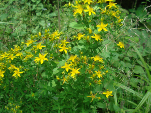 Perforate St. John's Wort -2