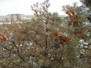 Sea-buckthorn in fruit