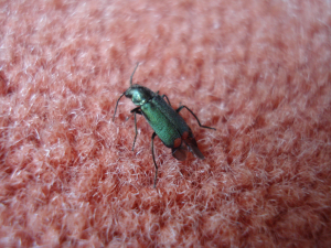 Malachite Beetle