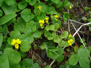 Alpine Yellow Violet