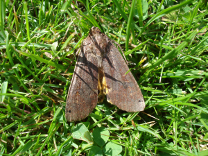 Large Yellow Underwing mystery