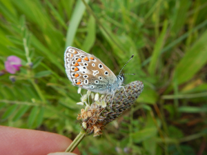 Common Blue, Adonis plus notes