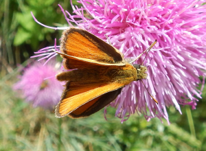 Essex Skipper - with comments