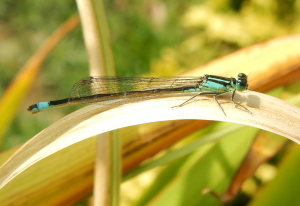 Blue Tailed Damselfly - Male