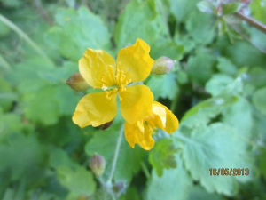 greater celandine possibly