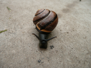 Banded snail(Brown Lipped snail)