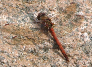 Common darter Sympetrum striolatum ?