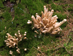 unknown 'finger' clump funghi