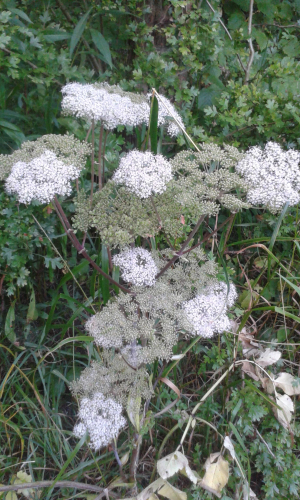 Umbellifer sp