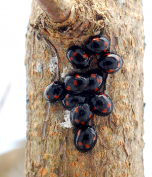 Other ladybirds aggregate in the winter too...