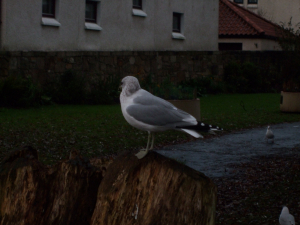 Common gull (winter)