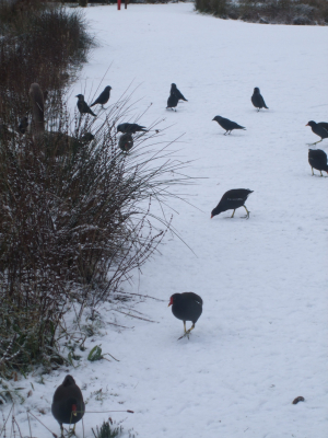 Jackdaws at the back