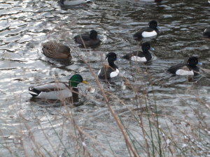 Tufted ducks (and friends)