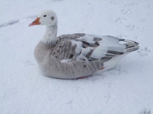 Greylag sitting down