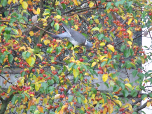 Woodpigeon gorging on berries