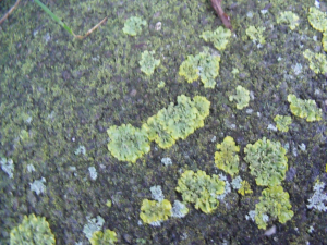 Unknown foliose lichen