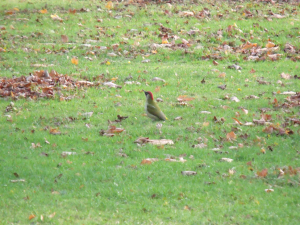 Green Woodpeckers galore