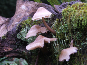 Bonnet (Mycena species)
