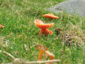 Scarlet Waxcap (Hygrocybe coccinea)