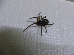 False Widow / Biting Spider