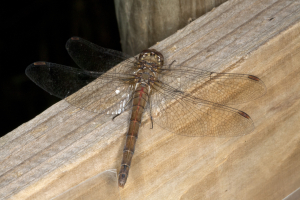 Sympetrum striolatum, Anglesey Abbey