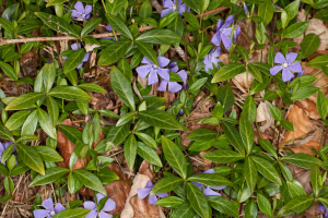 Vinca minor, Bowness