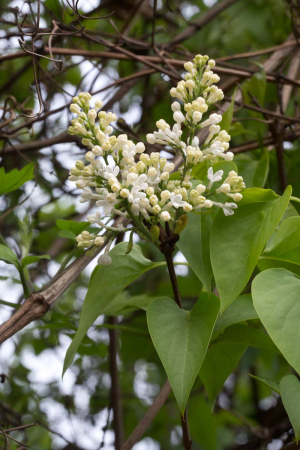 Syringa vulgaris, Thompson's Lane
